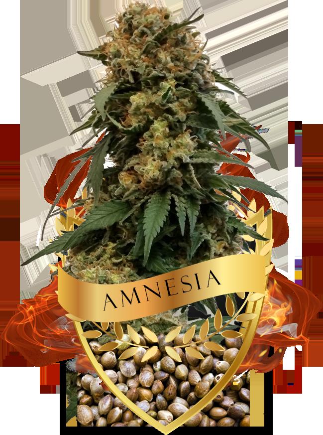 Amnesia zaden kopen