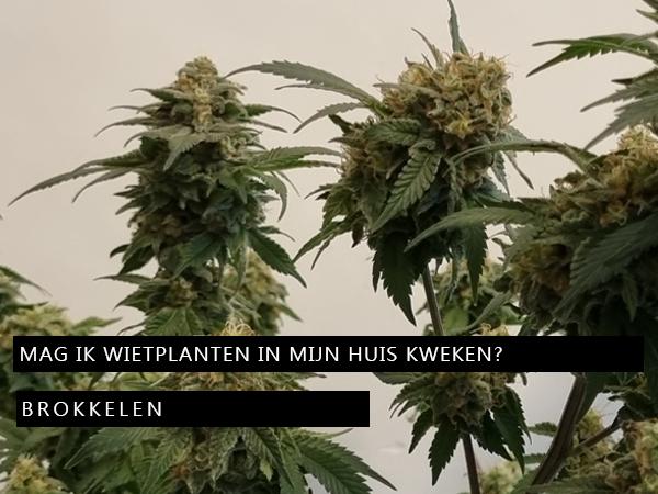 Mag ik wietplanten in mijn huis kweken?