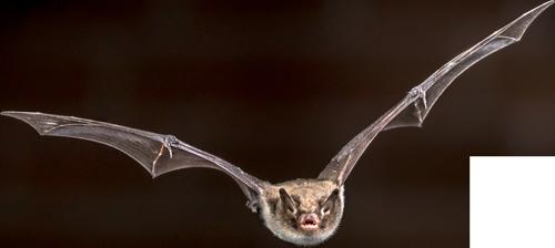 vleermuizenpoep als bijvoeding voor wietplanten