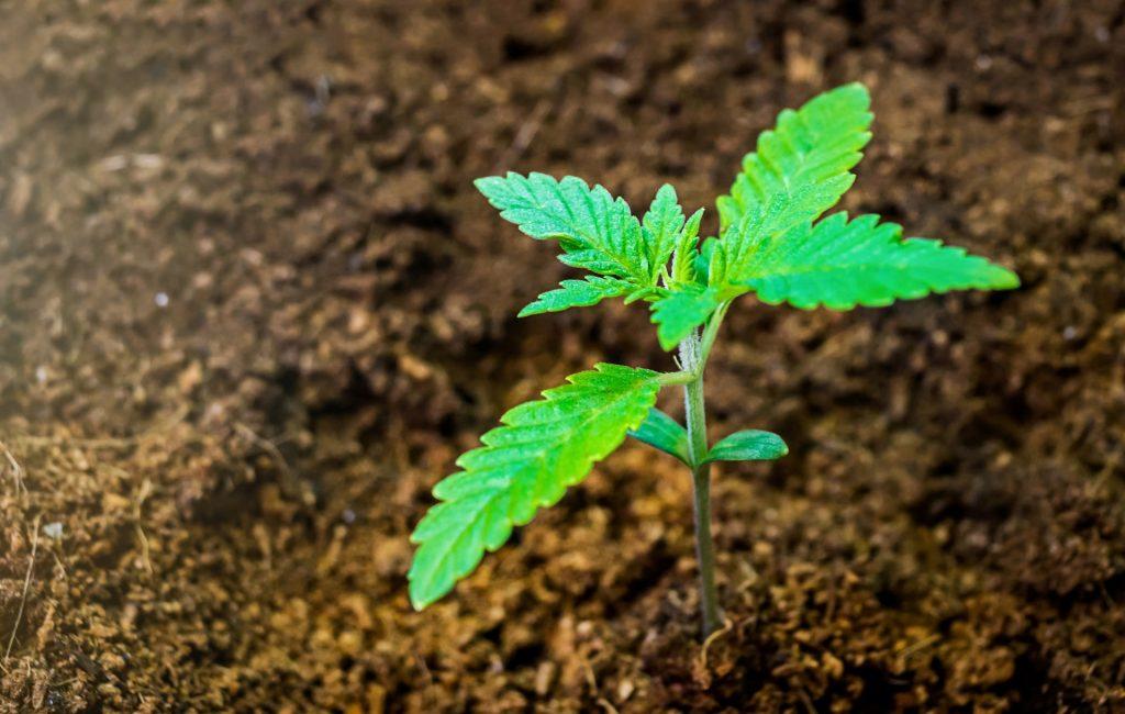 wietplant-zonder-voeding